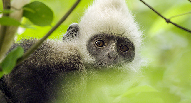 Earth: One Amazing Day.The white headed langur monkey is one of the rarest creatures on earth.