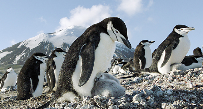 Earth: One Amazing Day. Chinstrap penguins on Zavodovski Island in the Southern Ocean.