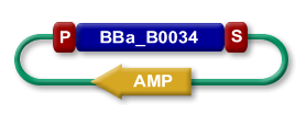 BioBrick™ part BBa_B0034 within a plasmid. The part is flanked by a standard BioBrick™ prefix (P) and suffix (S). From the Registry of Standard Biologial Parts